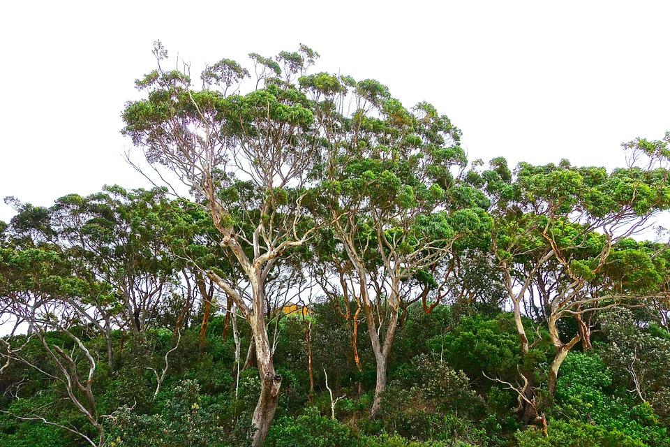 Bio terra eukaliptus drvo 29 10 2018