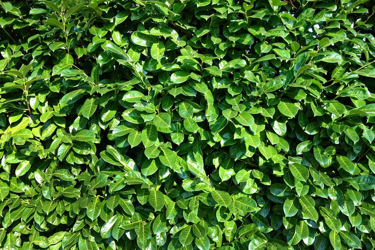 Kako maksimalno iskoristiti dobrobiti ravensare (Cinnamomum camphora) ?